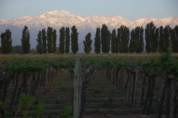 Mendoza_Vineyard