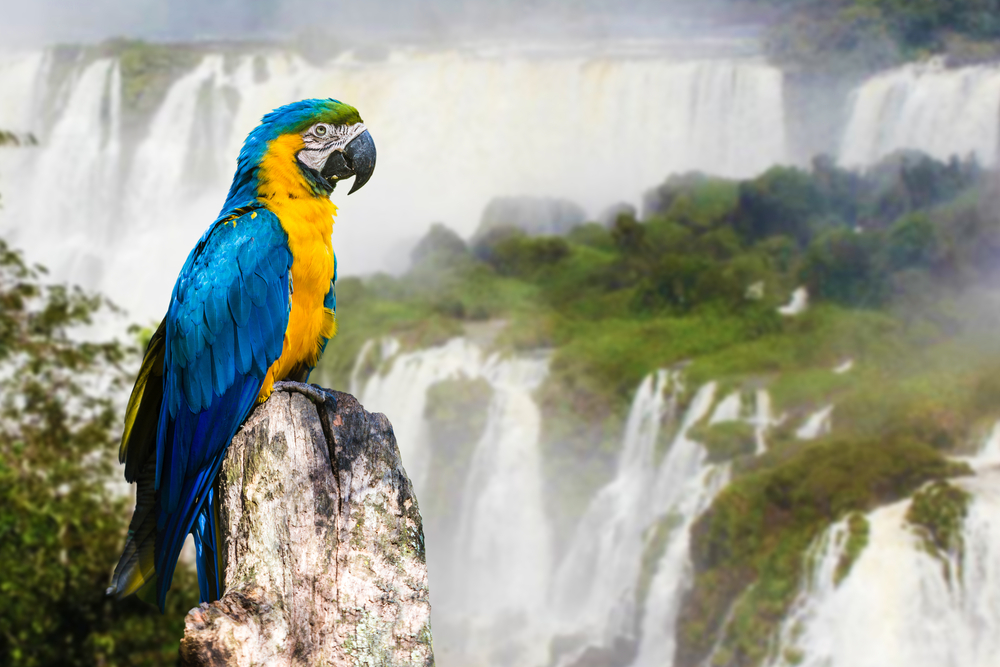 Blue and Yellow Macaw in Iguazu Falls, Brazil-1